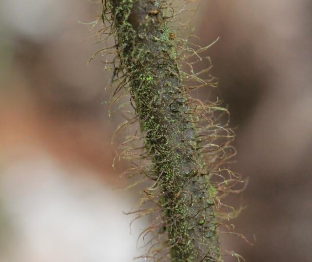 Ctenitis borbonica (Baker) Tardieu.