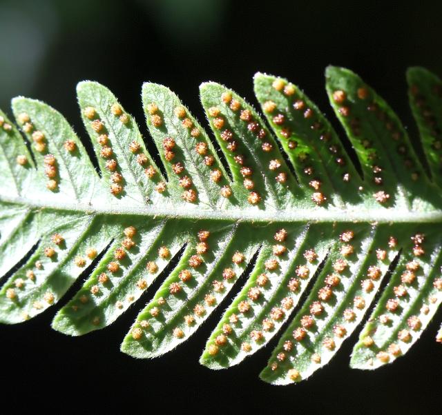 Ctenitis cyclochlamys (Fée) Holttum