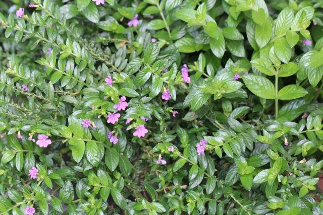 Cuphea hyssopifolia, Cuphea, Étoile du Mexique.