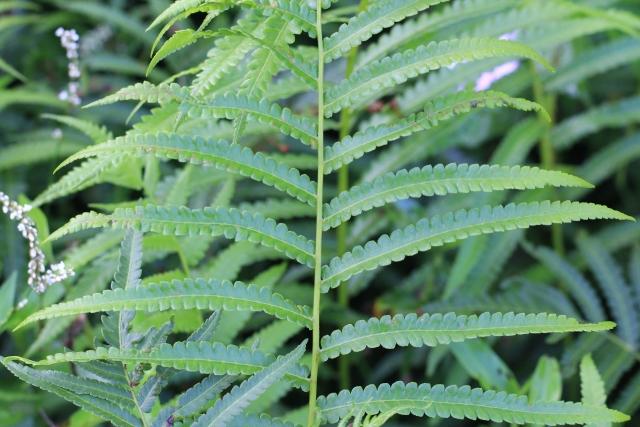 Cyclosorus interruptus (Willd.) H. Itô.
