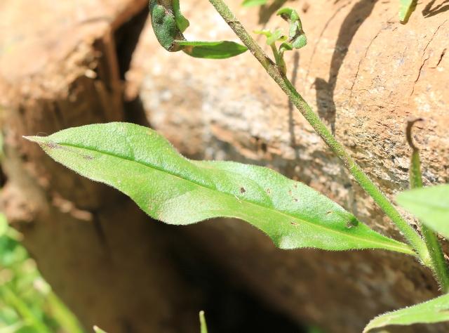 Cynoglossum rochelia A. DC.