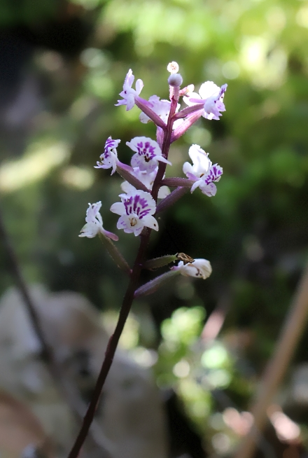 Cynorkis squamosa. Orchidée de La Réunion