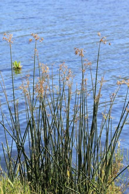 Cyperus articulatus L. Flore La Réunion