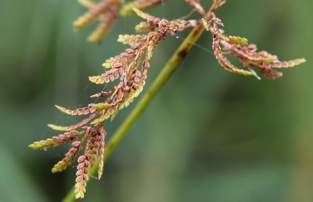 Cyperus iria L.