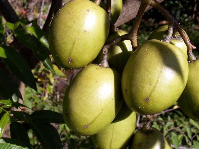 Spondias dulcis, Prunier ou pommier de cythère fruit évis ou zévis