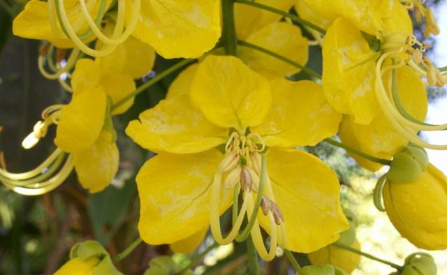 Fleurs Cassia fistula.