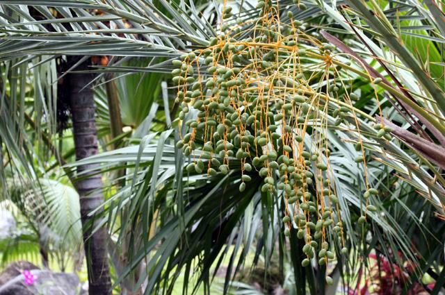 Dattes les fruits du palmier dattier