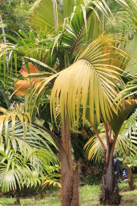 Deckenia nobilis H.Wendl. ex Seem.