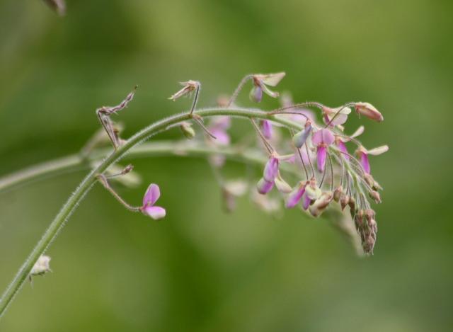 Fleurs Desmodium tortuosum.