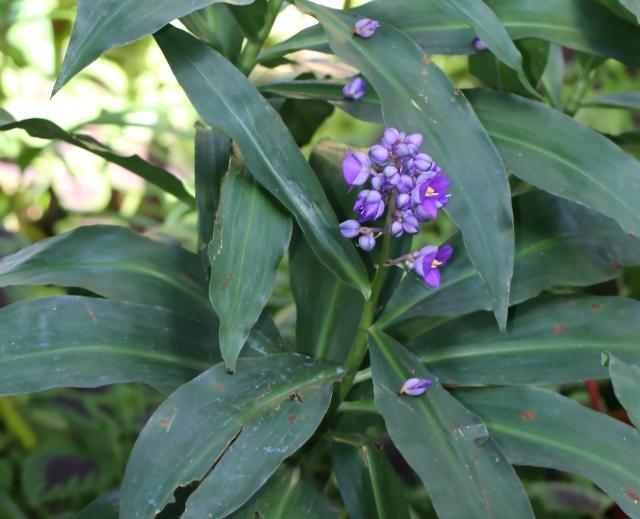 Dichorisandra thyrsiflora JC Mikan.