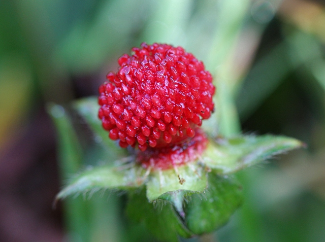 Fruit. Potentilla indica
