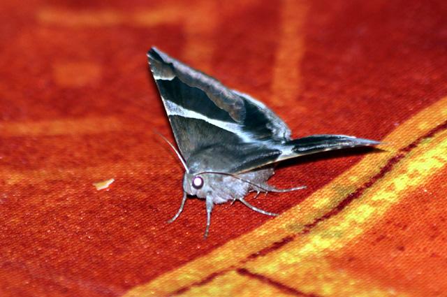 Dysgonia torrida (Guenée, 1852). Papillon de La Réunion