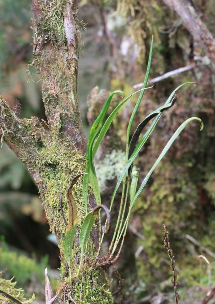 Elaphoglossum acrostichoides (Hook. et Grev.) Schelpe.