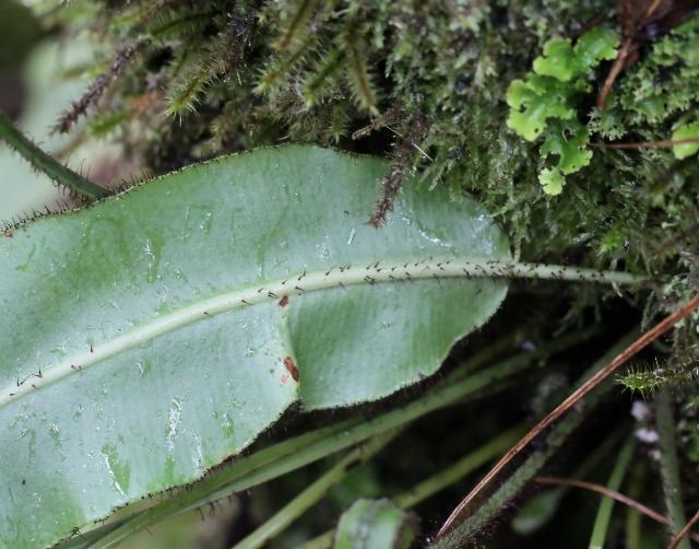 Elaphoglossum aubertii (Desv.) T. Moore.