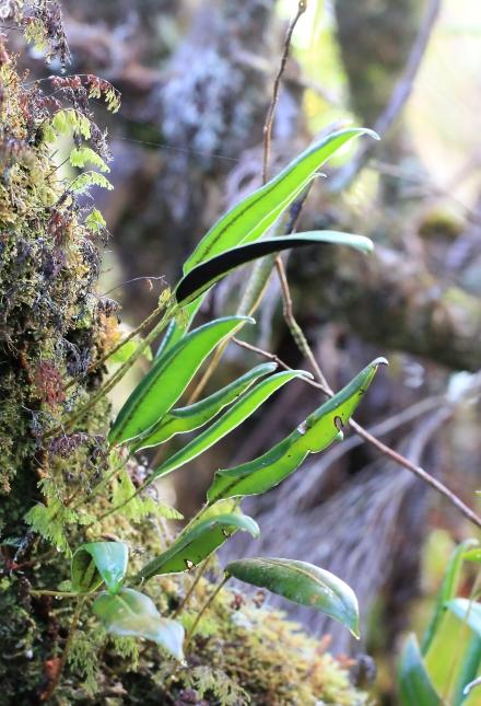 Elaphoglossum lepervanchei (Bory ex Fée) T. Moore.