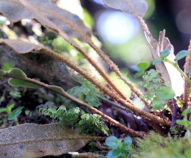Elaphoglossum splendens.
