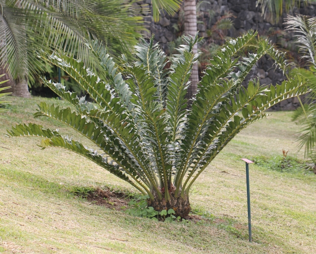 Encephalartos ferox G.Bertol.