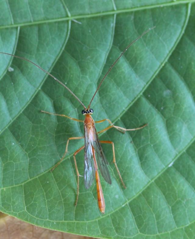 Enicospilus betanimenus (Saussure, 1892).
