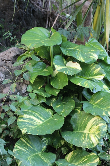 Epipremnum pinnatum (L.) Engl.