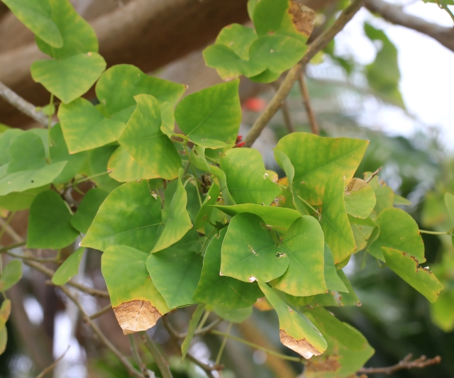 Erythrina corallodendrum L.