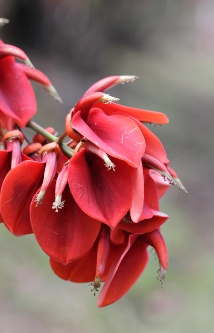 Erythrina crista-galli L, Erythrine crête-de-coq.