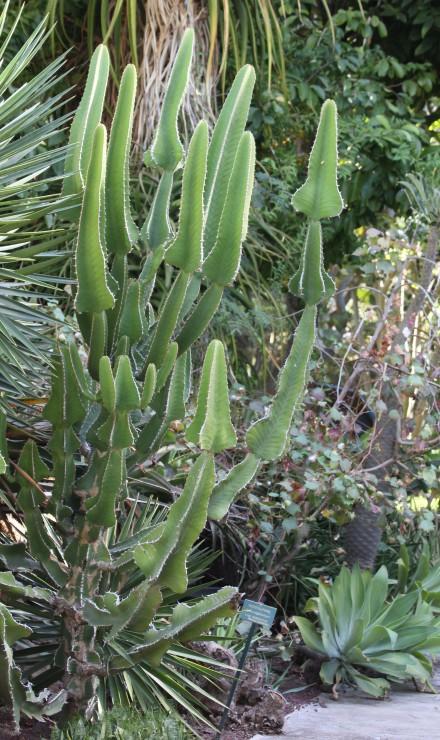 Euphorbia cooperi. Euphorbe candélabre.