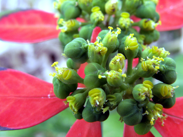 Euphorbe écarlate - Euphorbia cyathophora.