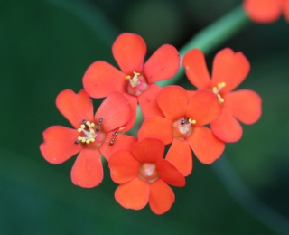 Cyathes. Euphorbia fulgens.