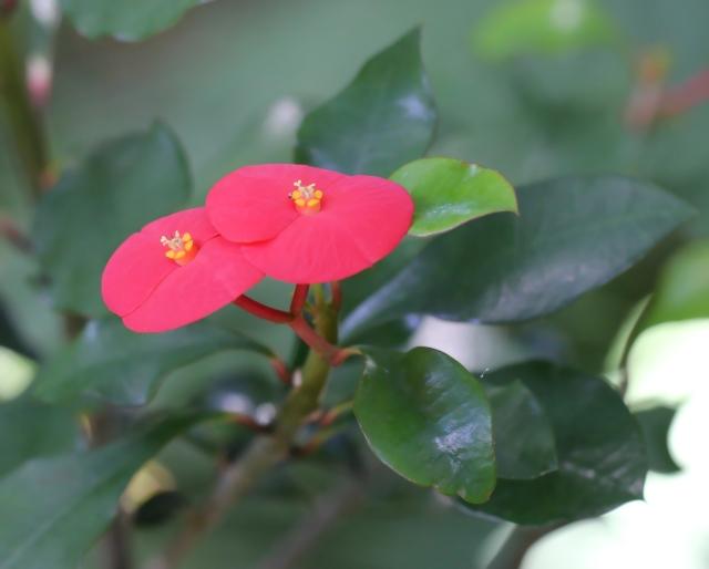 Euphorbia geroldii.