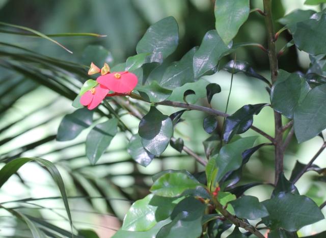 Euphorbia geroldii. Euphorbe de Gerold.