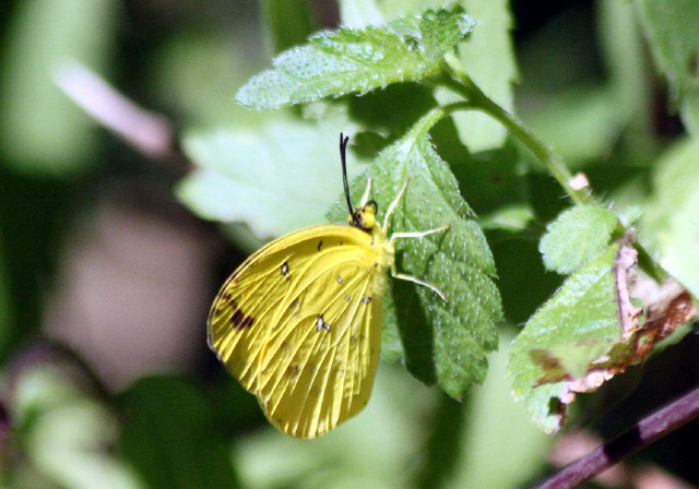 Eurema floricola ceres, La piéride des fleurs