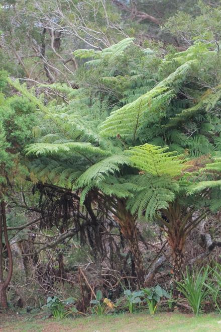 Cyathea glauca Bory, Fanjan Fougère endémique La Réunion