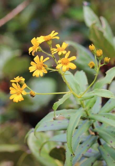Faujasia salicifolia.
