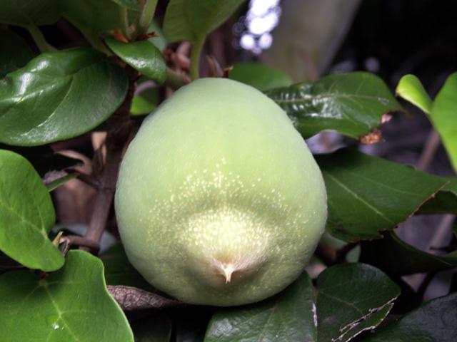 photos fruit figuier grimpant ou lierre p233i ficus