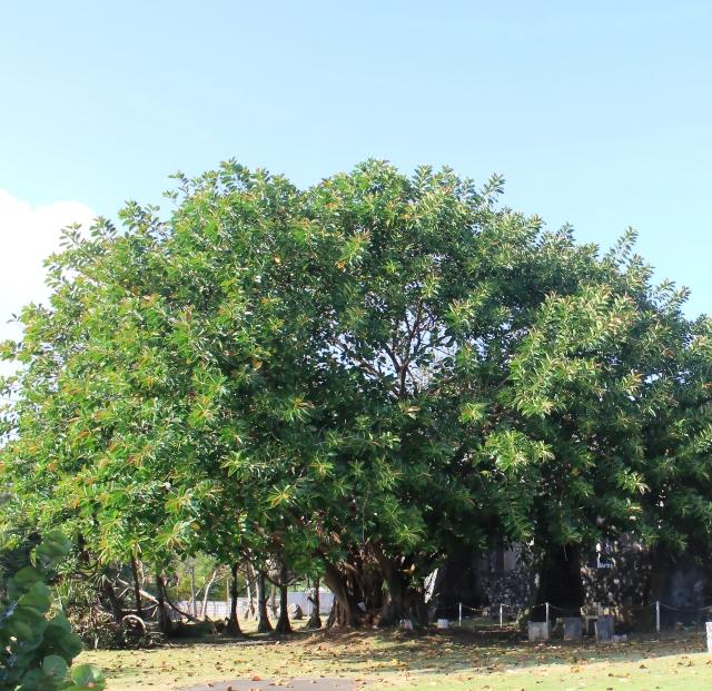 Ficus elastica. Caoutchouc.