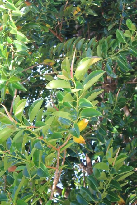 Ficus elastica Roxb. ex Hornem.