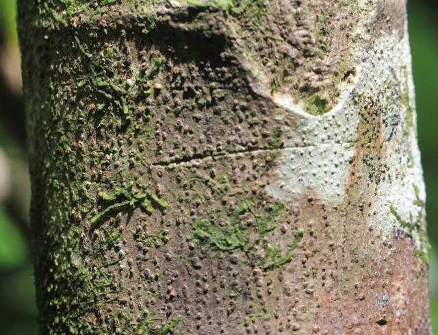 Ficus lateriflora Vahl.