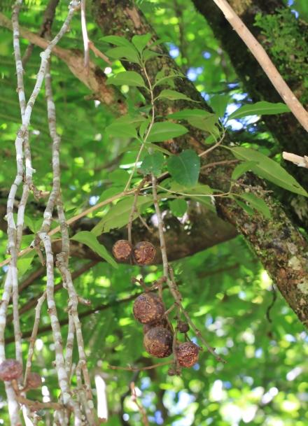 Ficus mauritiana Lam.