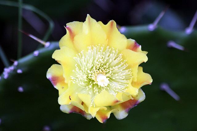 Fleur : Opuntia ficus-indica.