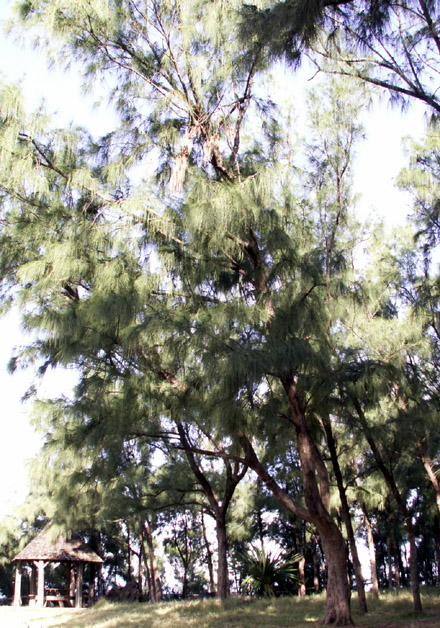 Filaos, Casuarina equisetifolia L