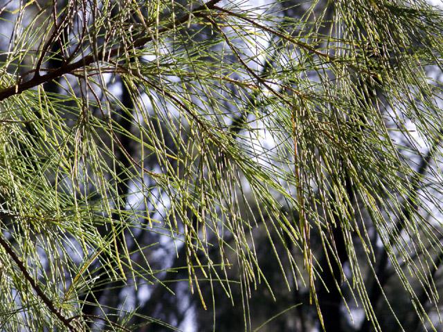 Filaos : feuilles