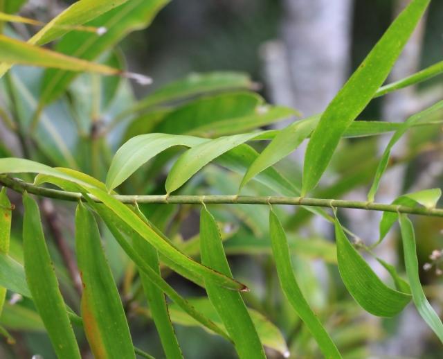 Flagellaria indica L. Flagellaire d'Inde.