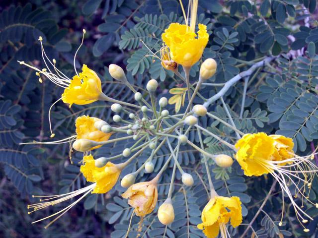 Fleurs jaunes : Caesalpinia pulcherrima.