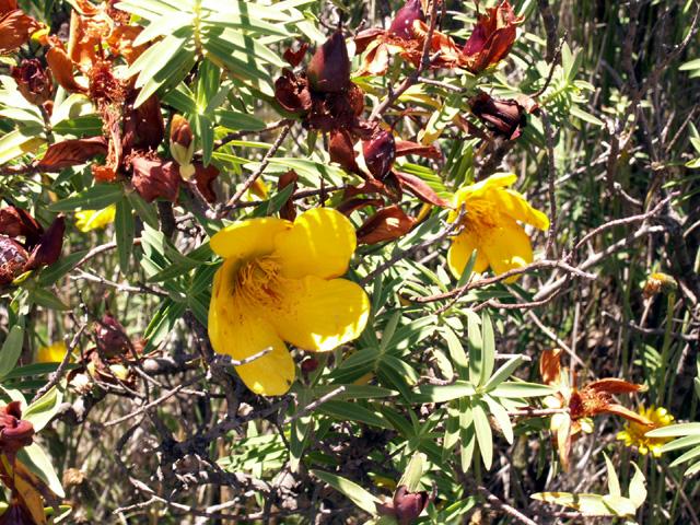 Fleur jaune, Hypericum lanceolatum, Endémique de La Réunion