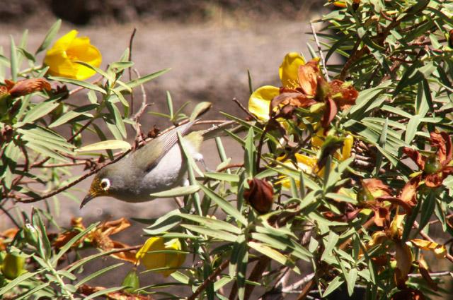 Fleur jaune Hypericum lanceolatum Endémique de La Réunion et Oiseau Vert ou zoizeau vert à lunette  Zosterops olivaceus