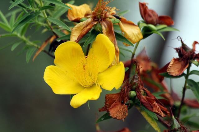 Fleur Jaune Hypericum Lanceolatum Photo Flore La Reunion N 5577