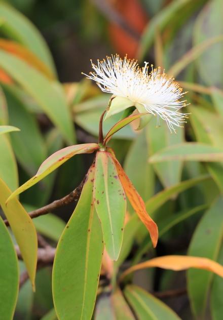 Foetidia mauritiana Lam.