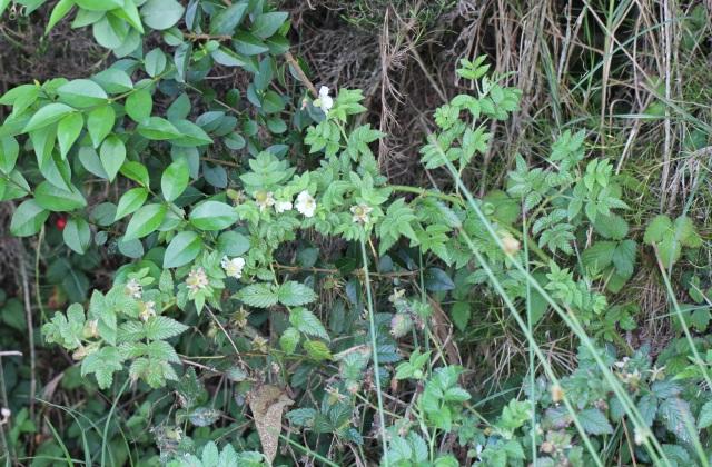 Rubus rosifolius. Framboise. Framboisier.