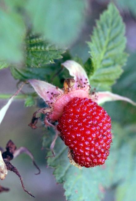 Rubus rosifolius. Fruit.