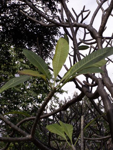 Frangipanier feuilles.